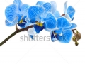 stock-photo-beautiful-flower-orchid-blue-phalaenopsis-close-up-isolated-on-white-background-130002806