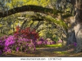 stock-photo-charleston-sc-spring-bloom-azalea-flowers-south-carolina-plantation-garden-under-live-oaks-and-137367743