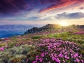 stock-photo-magic-pink-rhododendron-flowers-on-summer-mountain-carpathian-ukraine-europe-129821183