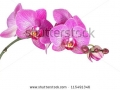 stock-photo-pink-streaked-orchid-flower-isolated-115491346