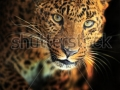 stock-photo-portrait-of-leopard-129140987