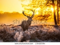 stock-photo-red-deer-in-morning-sun-130328384