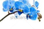 stock-photo-beautiful-flower-orchid-blue-phalaenopsis-close-up-isolated-on-white-background-130002806