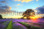 stock-photo-beautiful-image-of-stunning-sunset-with-atmospheric-clouds-and-sky-over-vibrant-ripe-lavender-82977775