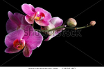 stock-photo-beautiful-pink-orchid-against-black-background-42636460