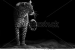 stock-photo-black-and-white-image-of-a-leopard-staring-145847159