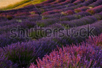 stock-photo-chapel-with-lavender-and-grain-fields-plateau-de-valensole-provence-france-94380007