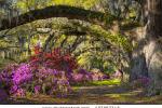 stock-photo-charleston-sc-spring-bloom-azalea-flowers-south-carolina-plantation-garden-under-live-oaks-and-137367743