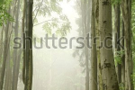 stock-photo-foggy-spring-morning-in-the-beech-forest-on-the-slope-during-rainfall-78968881
