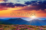 stock-photo-magic-pink-rhododendron-flowers-on-summer-mountain-carpathian-ukraine-129821195
