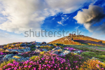 stock-photo-magic-pink-rhododendron-flowers-on-summer-mountain-overcast-sky-before-storm-carpathian-ukraine-130505720