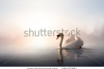 stock-photo-swan-floating-on-the-water-at-sunrise-of-the-day-135427394