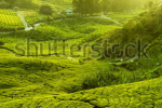 stock-photo-tea-plantations-at-cameron-highlands-malaysia-sunrise-in-early-morning-with-fog-59407192