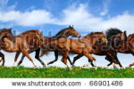 stock-photo-herd-gallops-in-green-field-66901486